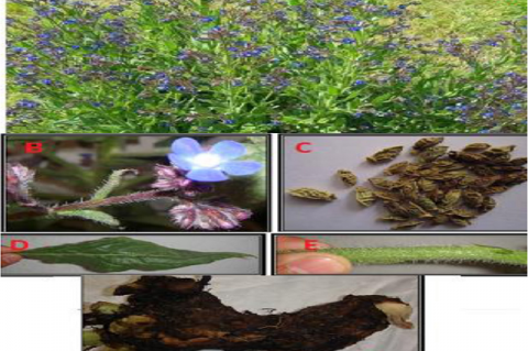 Anchusa azurea Mill different parts: (A) Aerial parts, (B) Flowers, (C) Seeds, (D) Leaf, (E) Stem and (F) Root.
